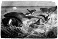 Antique illustration of killer whale