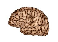 Human Brain - Illustration