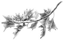 Oak Leaves on a Branch Sketch