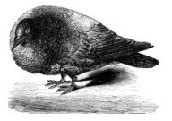 Antique illustration of pigeon