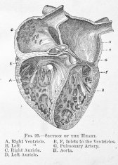 Antique medical illustration | Chambers of the Human Heart