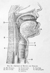 Antique Medical Illustration | Human throat