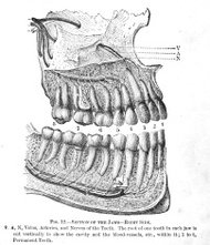 Antique Medical Illustration , Jaw & Teeth