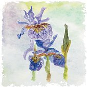 Watercolor floral summer,spring card.Iris floral decorative.