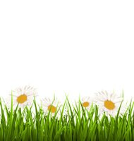 Green grass lawn with white chamomiles isolated on white. Floral