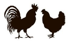 silhouette of chickens
