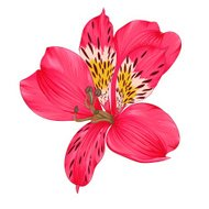 Beautiful bright pink alstroemeria isolated on white background