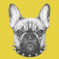 Hand drawn portrait of French Bulldog with collar.