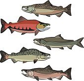 Salmon Species Colour