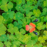 Clover colored