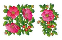 Print Wild rose with pink flowers vector illustration
