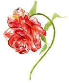 Vintage watercolor rose on white background