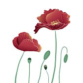 Blooming and budding red Poppy flowers