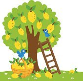 Lemon tree harvesting
