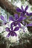 Painting Orchid purple tree in the garden.