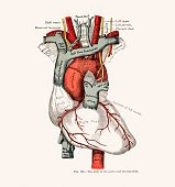Human Heart Anatomy 19 century medical illustration