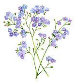Forget me not watercolor  flower illustration