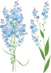 Forget me not flowers isolated