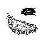 Kale hand drawn vector. Isolated engraved style Kale illustration.