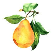 Fresh ripe pear with leaf on branch isolated, watercolor illustration